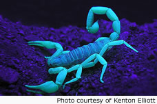 Scorpion w/ UV light